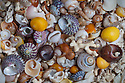 Detail of sea shells on beach, Claigan, Isle of Skye, Inner Hebrides, Scotland, UK. April.