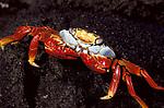 Sally Lightfoot Crab, Grapsus sp. Galapagos, pair