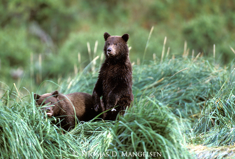 Two Alaskan Brown Bear (Ursus arctos) cubs in tall grass in Southeast, AK