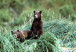 Two Alaskan Brown Bear (Ursus arctos) cubs in tall grass in Southeast, AK