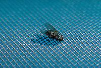 Housefly on a window screen