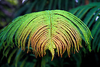Amau fern, native plant