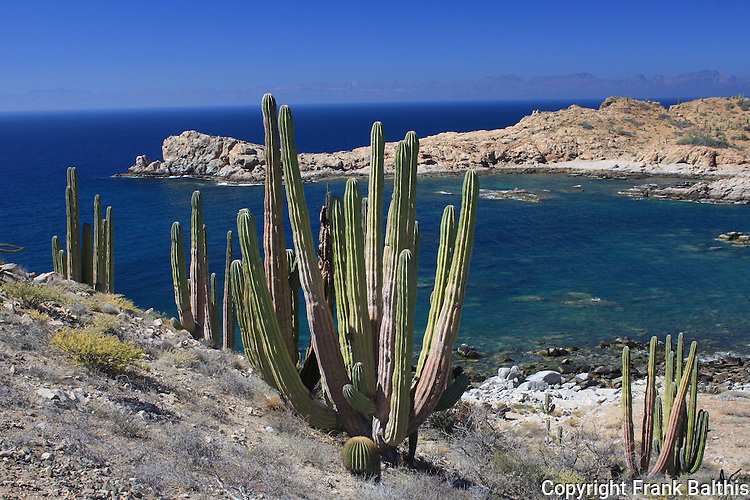 Cardon cacti at Isla Santa Catalina