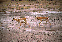 RUMINANTS<br /> Male Pronghorns In Petrified Forest<br /> Pronghorn antelope (Antilocapra americana)