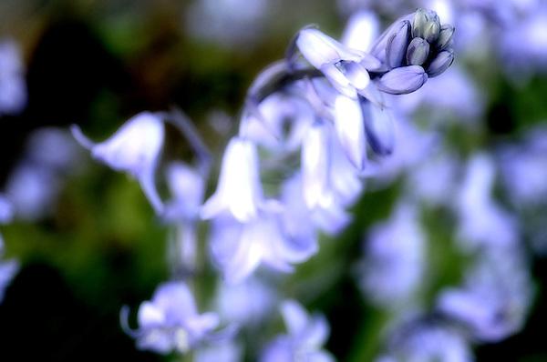 Blue Bell Dream