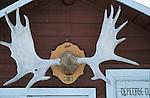 trophée  d'orignal (Alces alces americana)  le plus grand cervidé au monde sur une cabane de chasse. Quebec