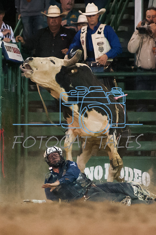 Corey Navarre from Weatherford, Okla. gets stepped on after being tossed from the bull during the final night of Reno Rodeo on Saturday, June 28, 2014.<br /> (Photo By Kevin Clifford)