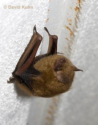 0411-1009  Little Brown Bat (syn. Little Brown Myotis), Myotis lucifugus  © David Kuhn/Dwight Kuhn Photography.