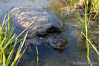 0611-0912  Snapping Turtle Exploring Pond Edge, Chelydra serpentina  © David Kuhn/Dwight Kuhn Photography