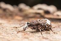 A Fungus Weevil (Eurymycter fasciatus) explores the fungus covered surface of a dead tree.