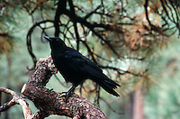 BIRDS<br /> Raven In A Tree