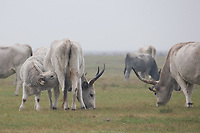 A herd of grey cattle is seen on a field in the fog during a celebration of the end of the grazing season in the Great Hungarian Plains in Hortobagy, 200 km (124 miles) east of Budapest in Hortobagy, Hungary on Oct. 21, 2017. ATTILA VOLGYI