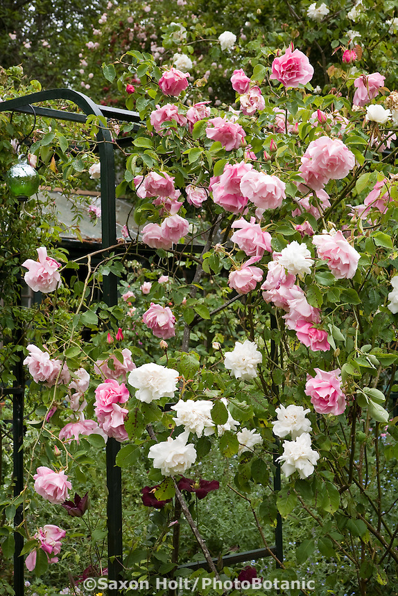 Pink flower rose Rosa 'Mme. Grégoire Staechelin' ('Spanish Beauty'), (Climbing Hybrid Tea) on garden arbor