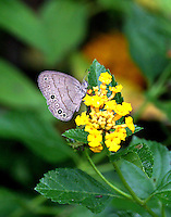 Carolina satyr on lantana