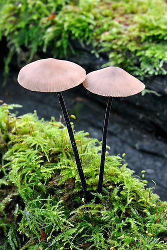 Marasmius alliacius