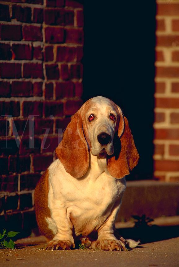 Portrait of a Bassett hound sitting by a brick wall.