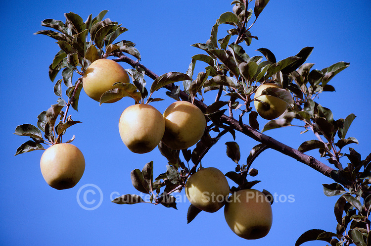 Ripe Golden Delicious Apples growing on Orchard Tree Branch, South Okanagan Valley, BC, British Columbia, Canada - Fresh Fruit