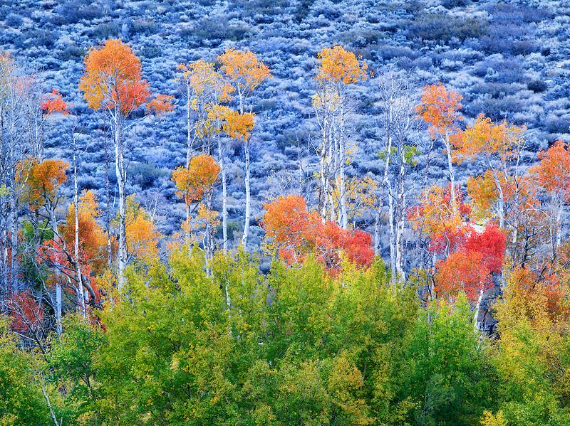 Fall colored aspens. Inyo County. Eastern Sierra Nevada Mountins