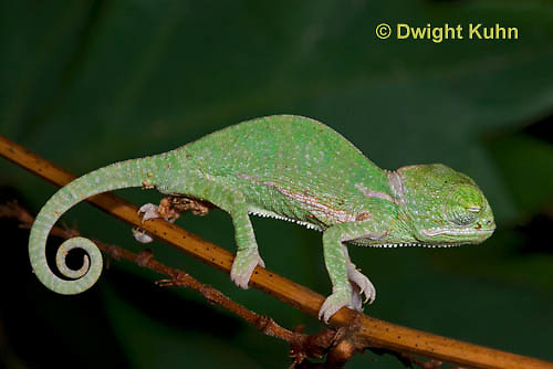 CH46-560z  Veiled Chameleon just hatched young, Chamaeleo calyptratus