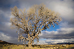 Original shoe tree, winter along Nevada's US 50 near Middlegate.