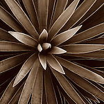 Fine art photography of sepia toned plants