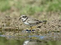 Semipalmated Plover - Charadrius semipalmatus - Juvenile/1st winter