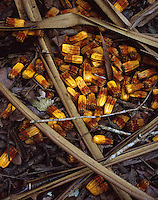 Pandanus Nuts<br />