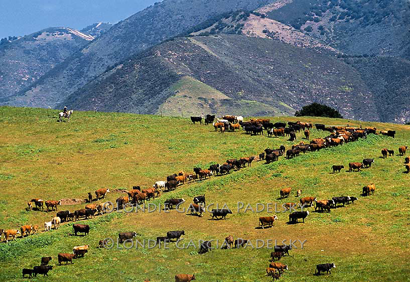 Cattle roundup at the Suey Ranch, Santa Maria, California