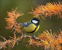 Great Tit (Parus major), adult perched on autumn branch of European Larch (Larix decidua), Oberaegeri, Switzerland, Europe