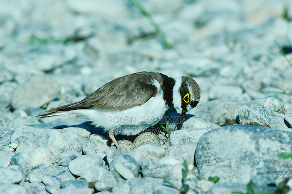 Little Ringed Plover, Charadrius dubius, male on nest with eggs, Scrivia River, Italy, Europe