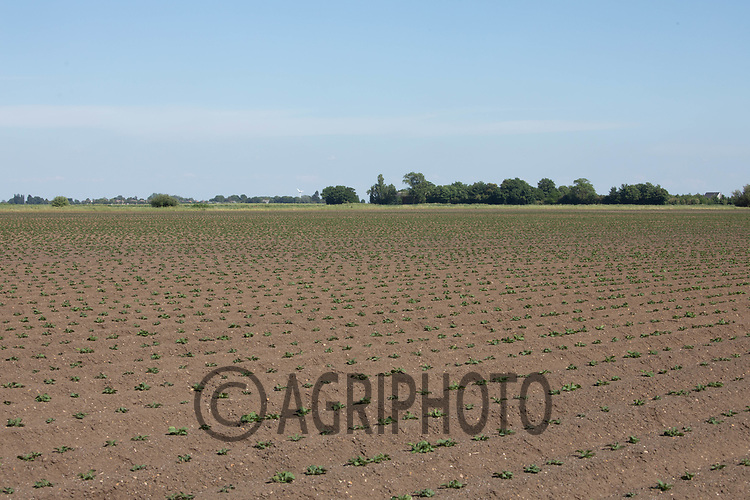 21.5.2020 Potatoes growing in the Lincolnshire Fens <br /> ©Tim Scrivener Photographer 07850 303986<br />      ....Covering Agriculture In The UK....