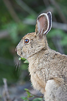 Close up of snowshoe hare in summer coat in Denali National Park, Alaska