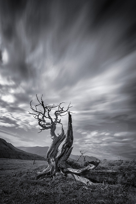 Monochrome rendition of a five minute exposure capturing cloud streaks behind a gnarled Whitebark Pine, illuminated by the full moon.