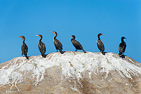 Group of cormorants on a boulder.