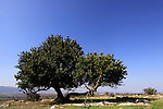 Israel, Lower Galilee, a lone Carob tree on Carob Hill