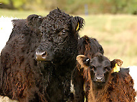 Paul Coppen Belted Galloway Cattle, White Close Farm, Gilmonby, Co Durham.