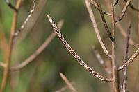 Gewöhnliche Knoblauchsrauke, Samen, Saat, Schote, Frucht, Früchte, Knoblauchsrauke, Knoblauchrauke, Knoblauch-Rauke, Knoblauchs-Rauke, Lauchkraut, Alliaria petiolata, Hedge Garlic, Jack-by-the-Hedge, seed, seeds, pod, seed pouch, Alliaire