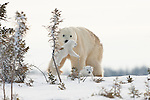 A mother polar bear picks up her wandering cub in Manitoba--setting the cub in front of her so she can watch it.