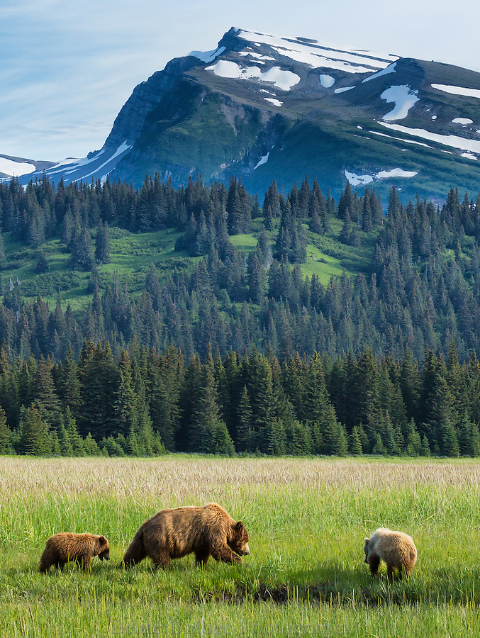 Brown bears in front of Slope Mountain, Lake Clark National Park, Alaska