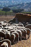 sheep at a farm feeding herdade de sao miguel alentejo portugal