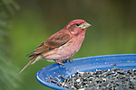 Male purple finch (Carpodacus purpureus) eating birdseed