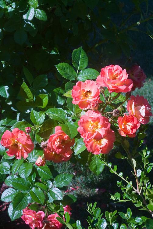 Rosa 'Coral Drift' = Koradigel, shrub rose, salmon orange pink low growing roses