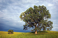 Cottonwood tree, Loess Hills, Plymouth County, Iowa