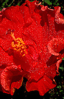 Giant red hibiscus with large golden stamen and water droplets on petals.