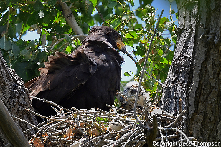Common Black Hawk with Young in nest, Big Bend National Park