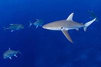 Galapagos shark, mano, Carcharhinus galapagensis, and giant trevally, Caranx ignobilis, Pearl and Hermes reef, Papahanaumokuakea Marine National Monument, Northwestern Hawaiian Islands, Hawaii, USA, Pacific Ocean