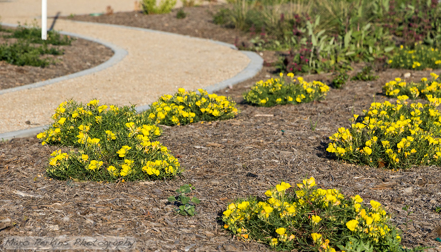 The native plant area of State Street Park, featuring yellow flowering plants.