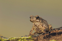 Red-spotted Toad, Bufo punctatus, young, Uvalde County, Hill Country, Texas, USA