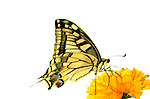 Swallowtail Butterfly, Papilio machaon, feeding on yellow flower, white background, cut-out.United Kingdom....