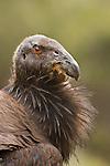 California Condor (Gymnogyps californianus) three year old male, Pinnacles National Park, California